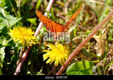 The Gulf Fritillary aka Passion Butterfly (Agraulis vanillae) - Stock Photo