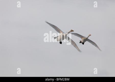 Whooper swans (Cygnus cygnus) returning to their breeding areas in northern Sweden in spring. Vaesternorrland, Sweden. - Stock Photo