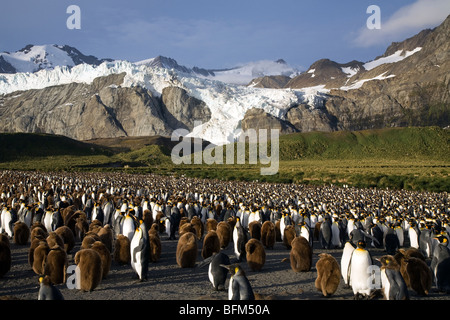 King Penguin colony in front of Betrab Glacier, Gold Harbor, South Georgia Island - Stock Photo