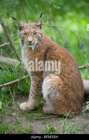 European Lynx - Lynx lynx - Stock Photo