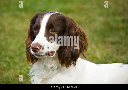 Portrait of an English Springer Spaniel (Canis lupus familiaris) with a slight lump on the side of his mouth. - Stock Photo