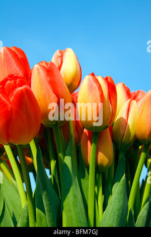 Beautiful Dutch tulips against bright blue sky on a sunny spring day - Stock Photo