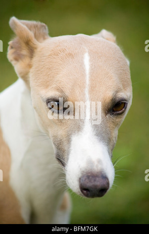 Portrait of the head of an English Whippet dog (Canis lupus familiaris) - Stock Photo