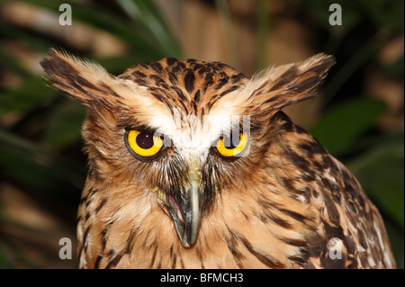 Buffy Fish Owl,  Ketupa ketupu is found in south east Asia from Thailand to Java and Bali. Also called Malay fish - Stock Photo