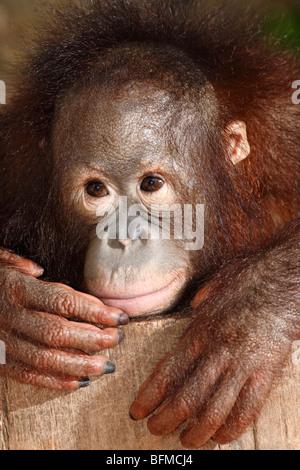 Bornean orangutan, juvenile