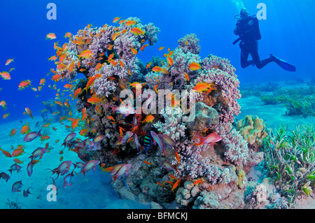 Scuba diver and colourful coral reef fish. 'Red Sea' - Stock Photo