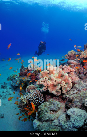 Scuba diver coral reef and colourful fish, 'Red Sea' - Stock Photo