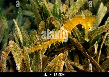 Thorny or Jayakar's seahorse, Hippocampus jayakarai, on seagrass in natural habitat. 'Red Sea' - Stock Photo
