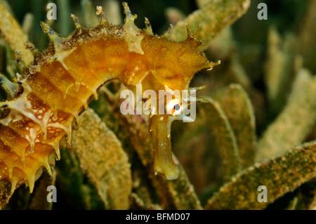 Jayakar's seahorse, Hippocampus jayakarai, on seagrass. 'Red Sea' - Stock Photo