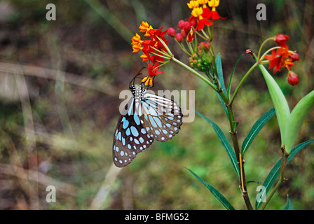Blue Tiger, Tirumala limniace at Pune Nymphalidae : Brush Footed Butterflies - Stock Photo