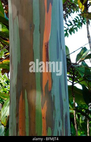 Eucalyptus deglupta or Rainbow Eucalyptus tree showing trunk and bark detail.  Gardens of Eden on the road to Hana - Stock Photo