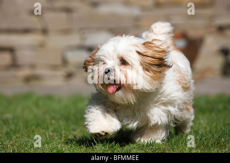 Havanese (Canis lupus f. familiaris), running in the garden, Germany - Stock Photo
