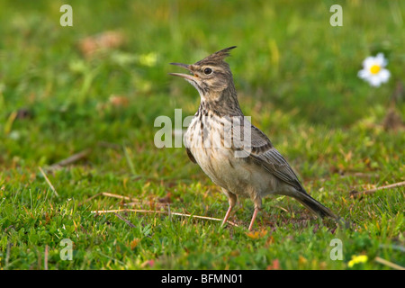 crested lark (Galerida cristata), singing in a meadow - Stock Photo