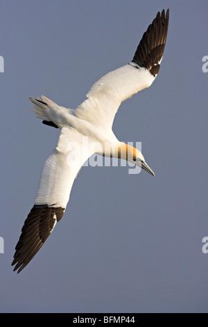 northern gannet (Sula bassana, Morus bassanus), flying, Germany - Stock Photo