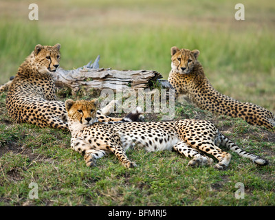 Kenya, Narok District. A family of cheetahs in the Maasai Mara Game Reserve. - Stock Photo