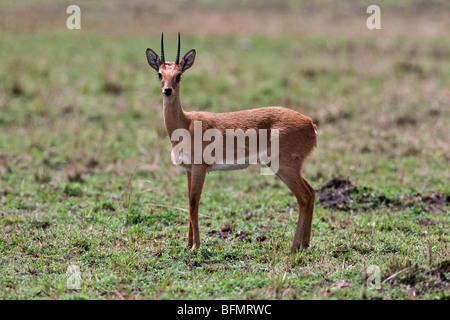 Kenya. An oribi in Masai Mara National Reserve. - Stock Photo
