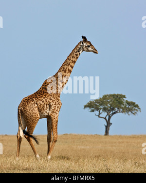 Kenya. A Masai giraffe crosses the vast grass plains in Masai Mara National Reserve. - Stock Photo