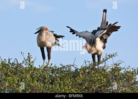 Kenya. A pair of nesting secretary birds in Masai Mara National Reserve. - Stock Photo
