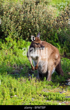 Australia, South Australia, Kangaroo Island.  Western grey kangaroo (Macropus fuliginosus) in Flinders Chase National - Stock Photo