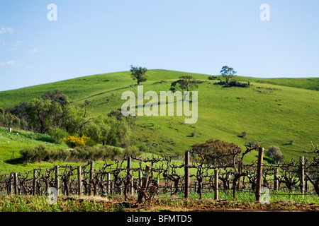 Australia, South Australia, Barossa Valley.  Vineyard grape vines. - Stock Photo