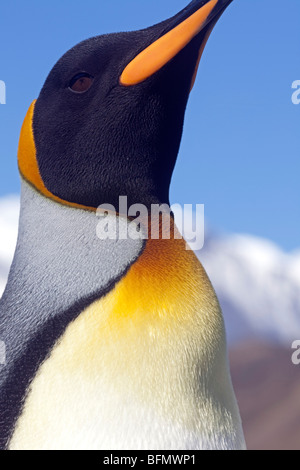 South Georgia and the South Sandwich Islands, South Georgia, Cumberland Bay, Grytviken. Detail of King Penguin. - Stock Photo