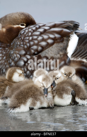 Falkland Islands; Sea Lion Island. Female flightless steamer duck (Tachyeres brachypterus) with young. - Stock Photo