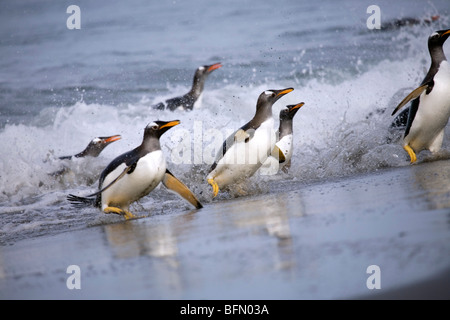 Falkland Islands, Sea Lion Island. Gentoo penguins (Pygoscelis papua) emerging from sea. - Stock Photo
