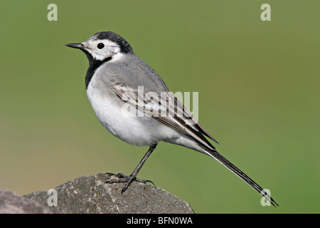 pied wagtail (Motacilla alba), sitting on a stone, Germany - Stock Photo