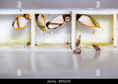 Goose barnacles; Lepas anatifera; attached inside a plastic box and washed up on the Cornish coast - Stock Photo