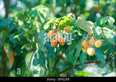 Lichi fruits on tree ; India - Stock Photo