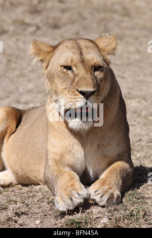 Female African Lion Panthera leo Taken In The Serengeti NP, Tanzania - Stock Photo