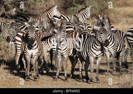 Herd Of Plains Zebra Equus quagga burchelli Taken In The Serengeti NP, Tanzania - Stock Photo