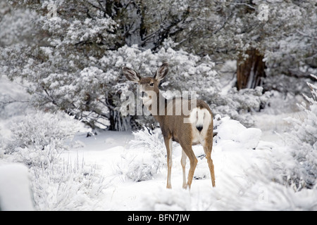 Mule deer browse in the Badlands Wilderness during a winter snowstorm. - Stock Photo