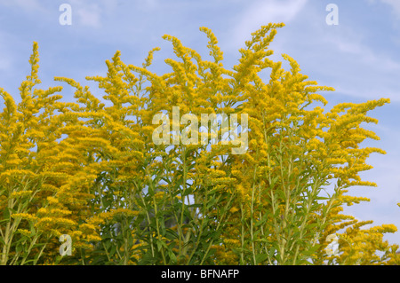 Canada Goldenrod (Solidago canadensis), flowering. - Stock Photo