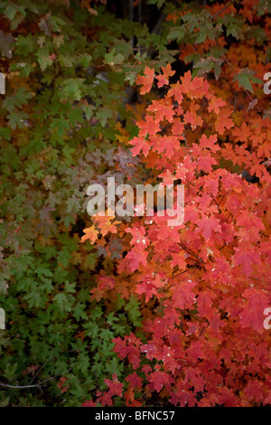 Rocky Mountain Maple (Acer groabrum) Leaves Turning Red in Autumn - Huachuca Mountains - Arizona - USA - Stock Photo