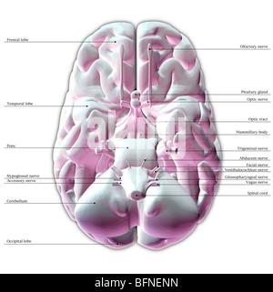 Illustration of the underside of the human brain Stock ...