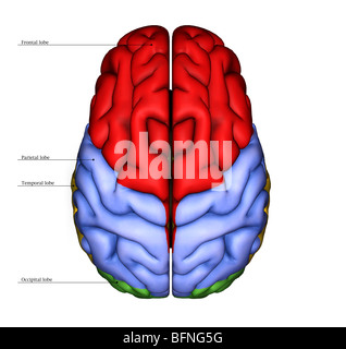 Illustration of the surface of the human brain seen from above - Stock Photo