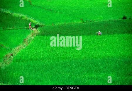 Rice fields, Paro, Rinpung Dzong. Bhutan - Stock Photo