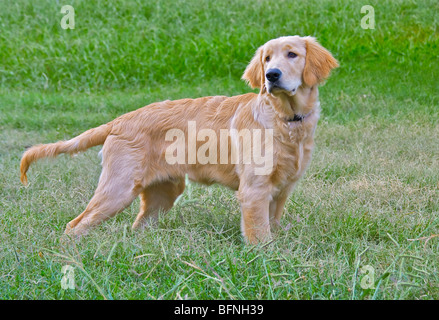 A yellow Labrador Retriever stands ready. - Stock Photo