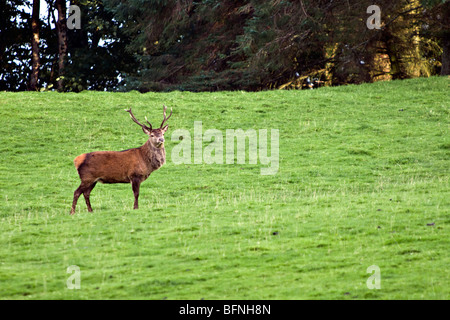 Red deer stag taken on the Isle of Mull, Scotland taken at the start of autumn - Stock Photo