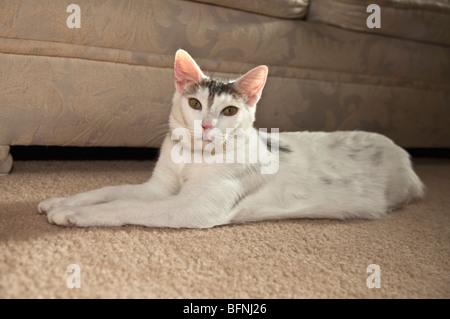 White cat lying on carpet. MR © Myrleen Pearson - Stock Photo