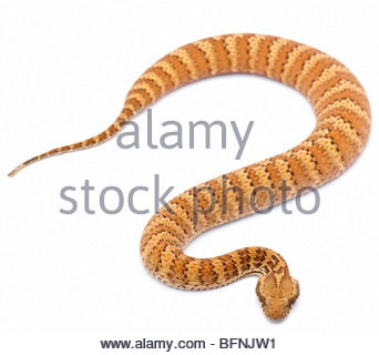Full body image of a Common death adder. - Stock Photo