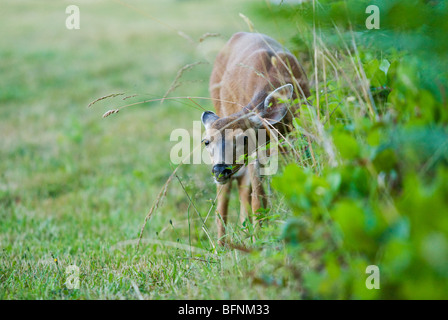 A fawn deer looking curiously through some grass. - Stock Photo