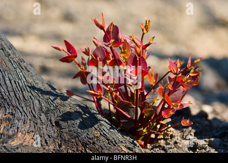 Red leaves sprout from eucalyptus lignotubers on a burnt tree trunk. - Stock Photo