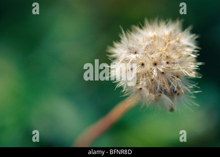 TAN 62862 : Frost on dry flower ; India - Stock Photo