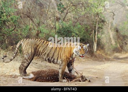ADI 60691 : Tiger panthera tigris with kill ; Ranthambore wildlife sanctuary ; Rajasthan ; India - Stock Photo