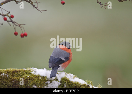 Male Bullfinch on snow perched on a mossy log.  Hawthorn berries provide a frame, there is a clear clear background. - Stock Photo