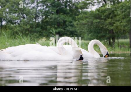 two swans feeding in lake - Stock Photo