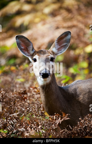 A White-Tailed Deer (Odocoileus virginianus) also known as the Virginia deer or the whitetail in Quebec, Canada - Stock Photo