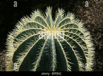 Ferocactus glaucescens, Cactaceae, North East Mexico - Stock Photo